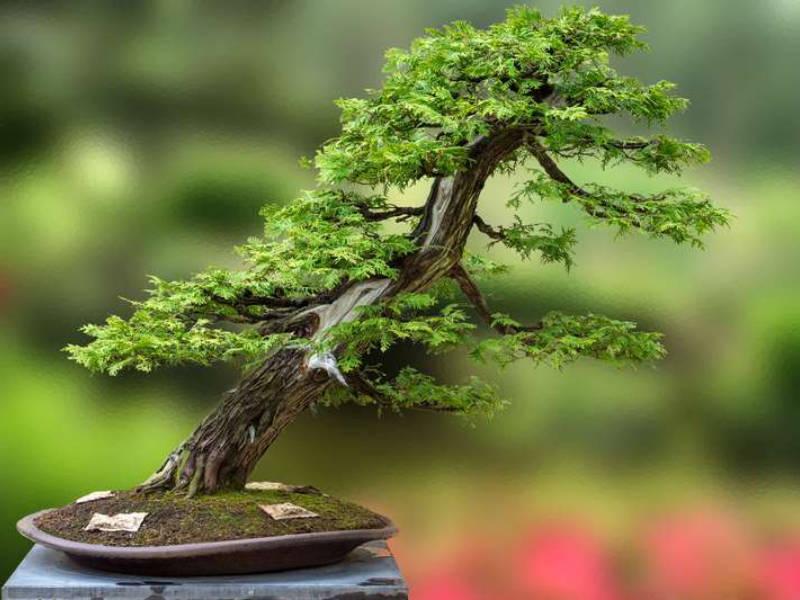 Le bonsai, un art popularisé par le Japon
